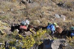Mulor som bär tungt gods på den Colca kanjonen, Peru royaltyfri fotografi