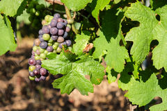 Multi colored grape bunch hanging from vine in winemaking region. Mult icolored grape bunch hanging from vine in winemaking regioncloseup picture Royalty Free Stock Photography