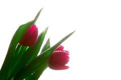 Multe tulips vermelhos na manhã do verão Fotos de Stock Royalty Free
