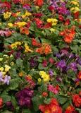 Одеяло цветков первоцвета Стоковые Фотографии RF