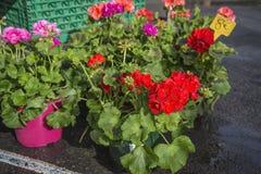 Multi покрашенные гераниумы или цветки кран-Билл в баке на рынке цветков стоковая фотография rf