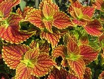 Multi покрашенные листья красного цвета и желтого цвета лета Стоковая Фотография RF