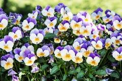 Multi покрашенные pansies в саде, сезонной естественной сцене Стоковые Фотографии RF