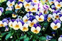 Multi покрашенные pansies в саде, фильтр фото Стоковое Изображение RF