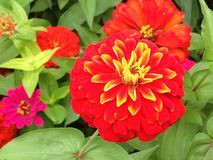 Multi Blumenblatt Zinnia mit goldenem Rand Lizenzfreie Stockfotografie