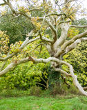 Multi-branched maple Stock Photography
