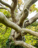 Multi-branched maple Royalty Free Stock Images