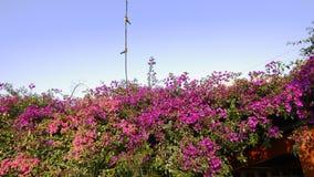 Multi buganvillea colorate e due uccelli su un ramo Fotografia Stock Libera da Diritti
