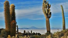 Multi cactus del gigante di armi fotografie stock libere da diritti