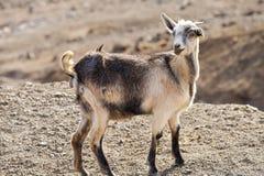 Multi capra colorata nella terra pietrosa di agricoltura della montagna Immagine Stock Libera da Diritti