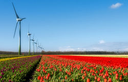 Multi cololored field of tulips and wind turbines Stock Photo
