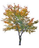Multi color autumn tree isolated on white Royalty Free Stock Photo