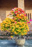 A multi color Bougainvillea and leaf in  the pot with brick wall. A multi color Bougainvillea and leaf with brick wall background in the morning Royalty Free Stock Photography