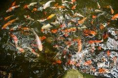 Multi color carp Koi fish in pond Stock Photography