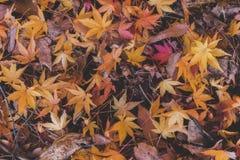 Multi-color falling leaf in autumn season. Multi-color falling leaf in autumn season, Japan Royalty Free Stock Images