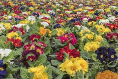 Multi-color field of endless spring pansies Royalty Free Stock Photos