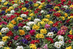 Multi-color field of endless spring  pansy Royalty Free Stock Photography