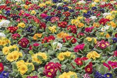 Multi-color field of endless spring pansy Stock Photos