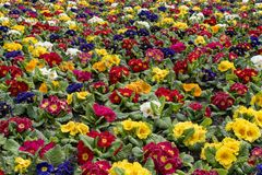 Multi-color field of endless spring primula polyanthus Stock Photography