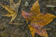 The Multi-Color of the Leaf of Fall. `The Multi-Color of the Leaf of Fall` is photo taken at Cooper Creek Park, located in Columbus, Georgia royalty free stock photos