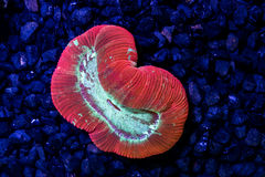 Multi color open brain coral Stock Photo