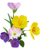 Multi color Primrose Stock Photography