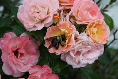 Multi-Color Rose bushes and Bumble Bees 2019. Highland Productions LLC Darren Dwayne Frazier These roses are bred for the color mixture. Most plants that are royalty free stock photography