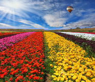 The multi-color rural fields with flowers Stock Photography