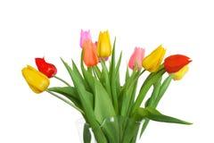 Multi color tulips Stock Image