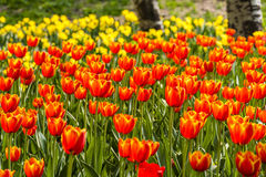 Multi color tulips Royalty Free Stock Photo