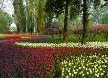 Multi color tulips Stock Photo