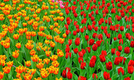 Multi color tulips in garden Royalty Free Stock Photography