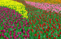 Multi color tulips in garden Stock Image