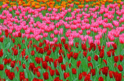 Multi color tulips in garden Royalty Free Stock Photo