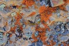 Multi color and types Crustose Lichen organism that arises from algae or cyanobacteria and from fungi on a boulder in the Oquirr royalty free stock photos