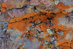 Multi color and types Crustose Lichen organism that arises from algae or cyanobacteria and from fungi on a boulder in the Oquirr. H Mountains in Utah, USA near royalty free stock photos
