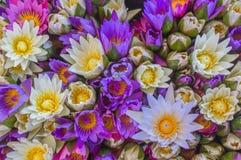 Multi colore dei fiori di loto Fiore di loto porpora con il politico giallo Fotografia Stock