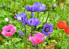 Multi colored anemones Stock Photo