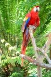 Multi-Colored Ara op tak royalty-vrije stock afbeeldingen