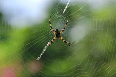 Multi-colored Argiope Spider in Nature. Multi-colored Argiope Spider in the nature of the island. The legs are attached together in pairs Royalty Free Stock Images