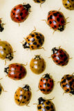 Multi-colored Asian Lady Beetles. Common insect pest - Invasive species Royalty Free Stock Image