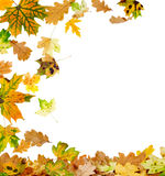 Multi Colored Autumn Leaves. Autumn oak and maple leaves falling to the ground Royalty Free Stock Images