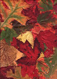 Multi Colored Autumn Leaves. A bold assortment of autumn leaves arranged for a fall background image.  Leaf varieties include Pin Oak, Flaming Maple and American Stock Photo