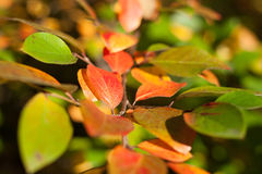 Multi-colored autumn leaves close up. Selective focus Royalty Free Stock Photography