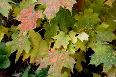 Multi-Colored Autumn Leaves royalty free stock image