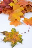 Multi-colored autumn maple leaves Royalty Free Stock Image