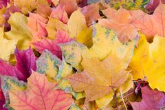 Multi-colored autumn maple leaves Stock Photos