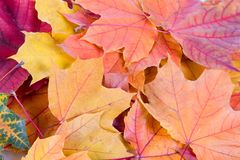 Multi-colored autumn maple leaves Stock Image