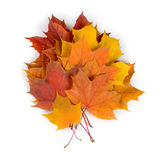 Multi-colored autumn maple leaves Stock Photography