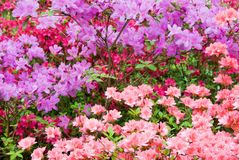 Multi Colored Azalea Flowers in Full Bloom royalty free stock photo